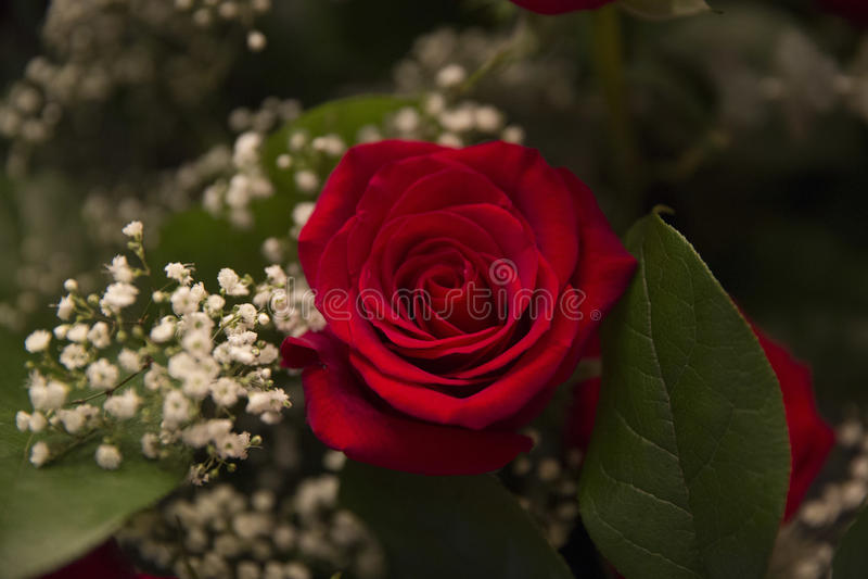 ramo color de rosa fotografía de archivo libre de regalías