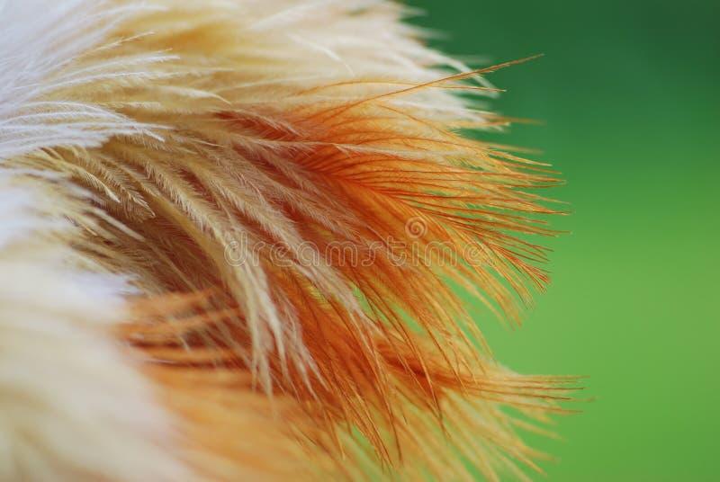 Ramo coloreado del plumero de la pluma de la avestruz fotografía de archivo