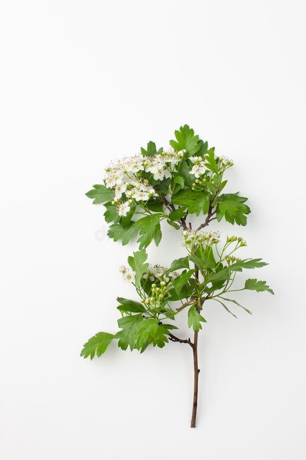 Ramo com as flores brancas do espinho no fundo branco foto de stock royalty free