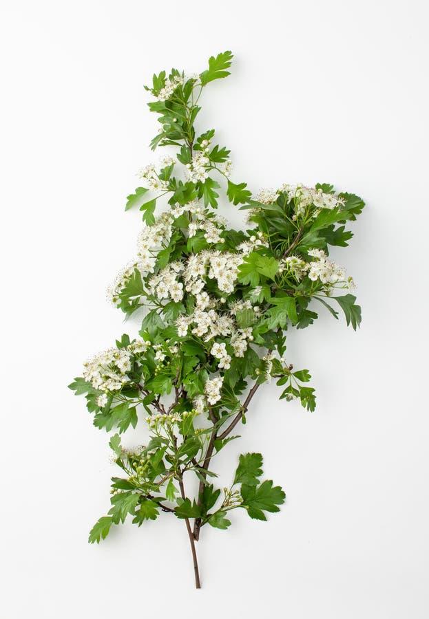 Ramo com as flores brancas do espinho no fundo branco fotografia de stock