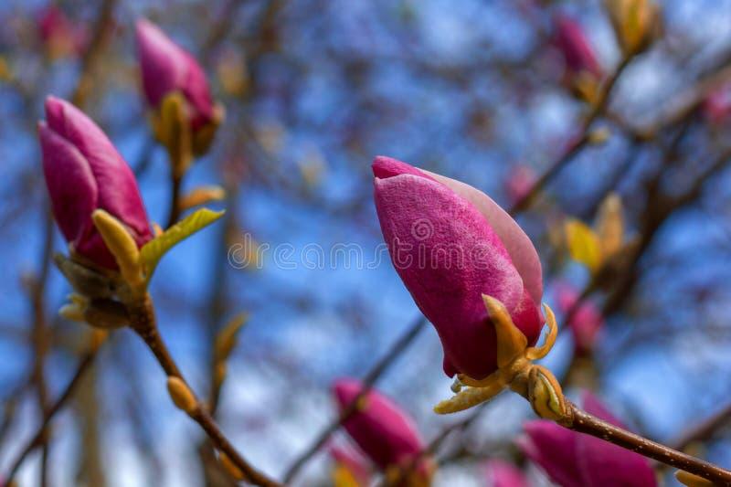 Ramo com as flores em botão roxas da magnólia no fundo natural para o projeto da renovação da mola fotografia de stock royalty free