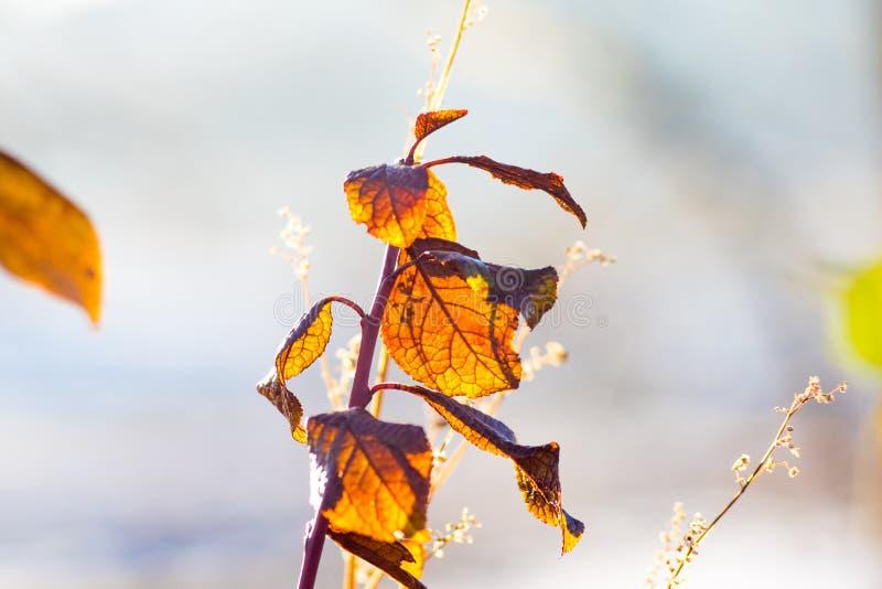 Ramo com as folhas de outono alaranjadas e marrons contra o sol em um background_ obscuro foto de stock royalty free