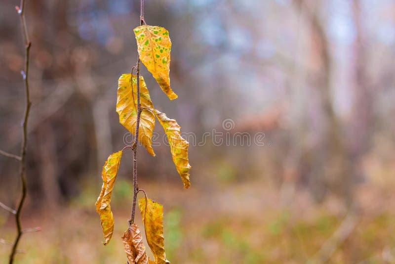 Ramo com as folhas de outono marrons, secas no fundo da floresta no weather_ escuro fotografia de stock royalty free