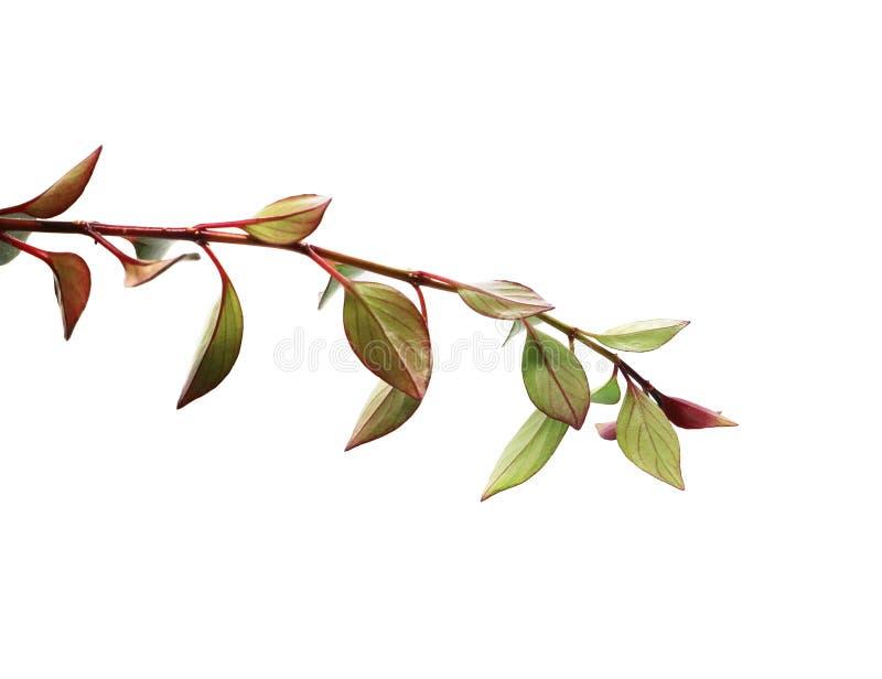 Ramo com as folhas verdes e vermelhas isoladas no fundo branco imagem de stock