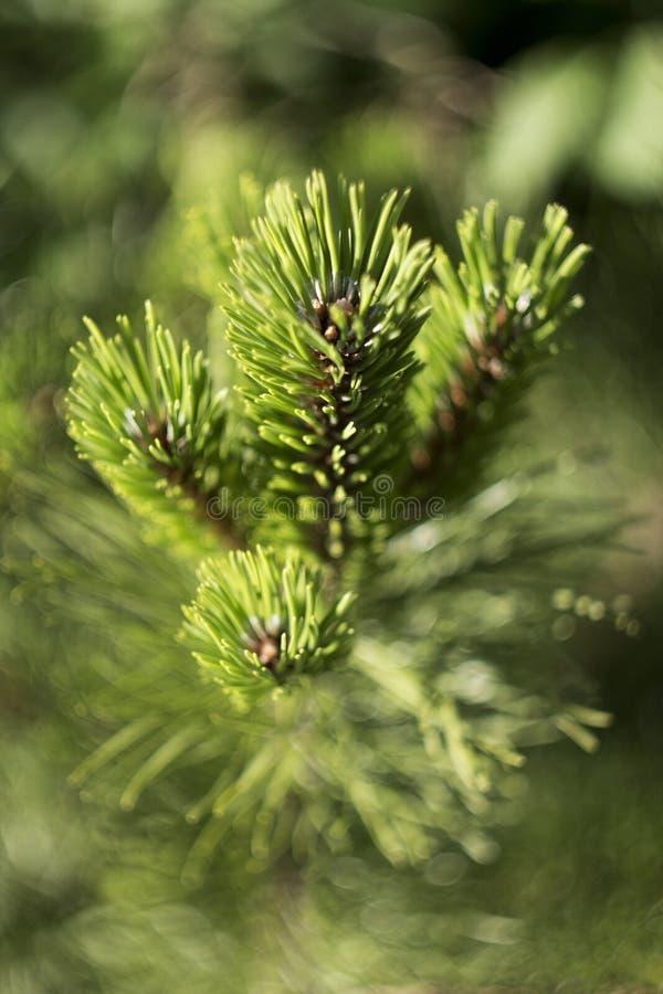 Ramo com cones pequenos, fundo verde do pinho foto de stock royalty free