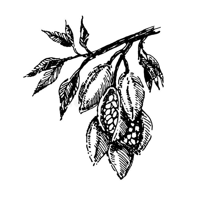 Ramo com vetor do esboço da ilustração da tração da mão da planta de feijões do cacau ilustração do vetor