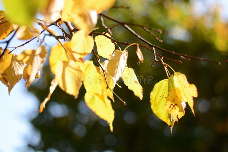 Ramo con le foglie gialle del tiglio su un fondo di cielo blu Autunno sunlight immagini stock