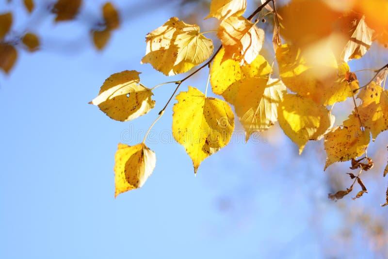 Ramo con le foglie gialle del tiglio su un fondo di cielo blu Autunno sunlight fotografia stock