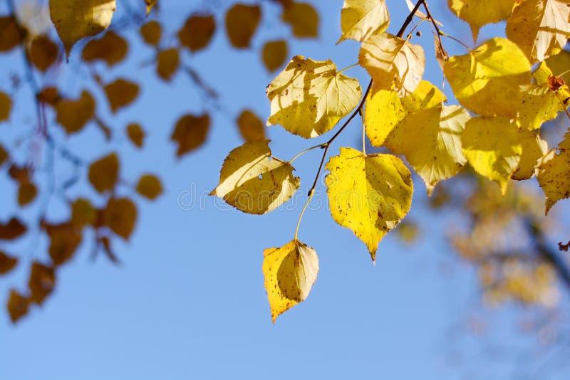 Ramo con le foglie gialle del tiglio su un fondo di cielo blu Autunno sunlight immagini stock libere da diritti