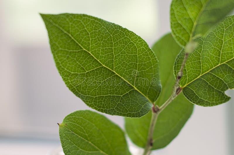 Ramo con le grandi foglie fresche verdi, primo piano sparato fotografia stock