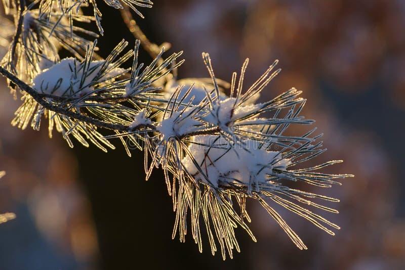 Ramo congelato del pino fotografia stock libera da diritti