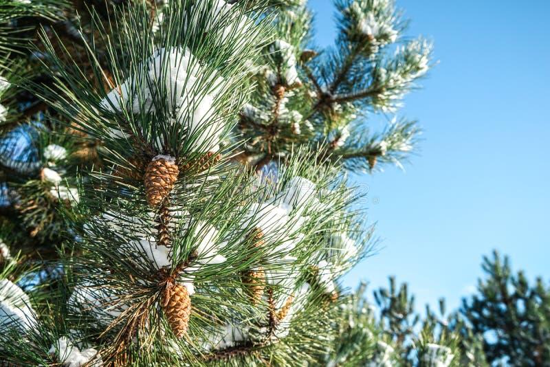 Ramo conifero con i coni contro cielo blu fotografie stock