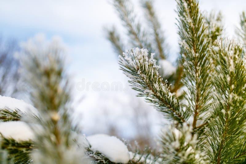 Ramo conifero coperto in primo piano minuscolo del fiocco di neve immagini stock libere da diritti
