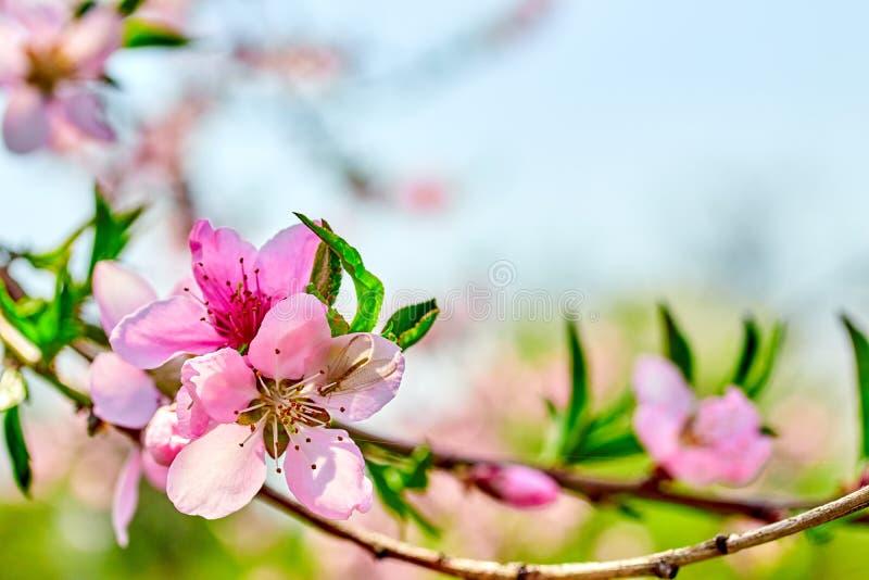 ramo cor-de-rosa de florescência do pêssego das flores na mola no jardim contra o céu azul foto de stock