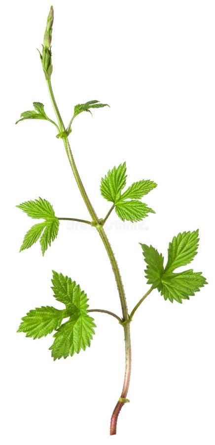 Ramo crescente do verde do l?pulo com as folhas isoladas no fundo branco fotografia de stock