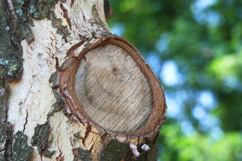 Ramo curativo di taglio sul vecchio albero fotografie stock