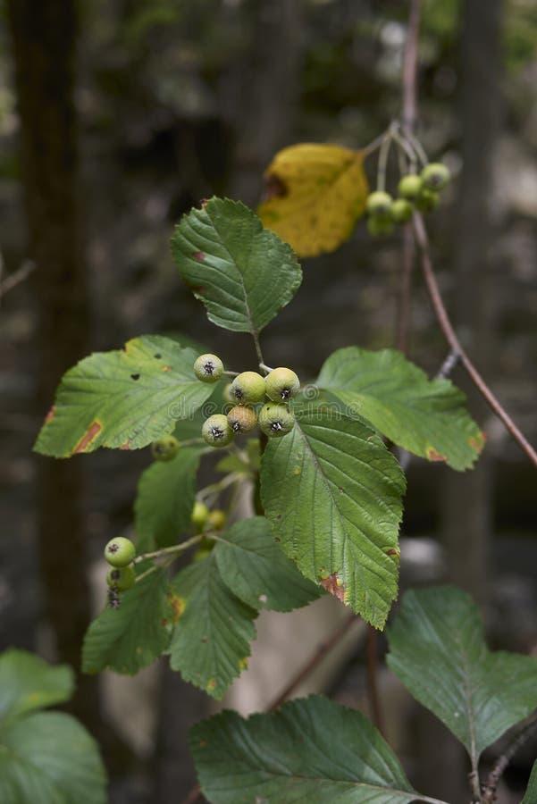 Ramo da ária do Sorbus no verão fotos de stock royalty free