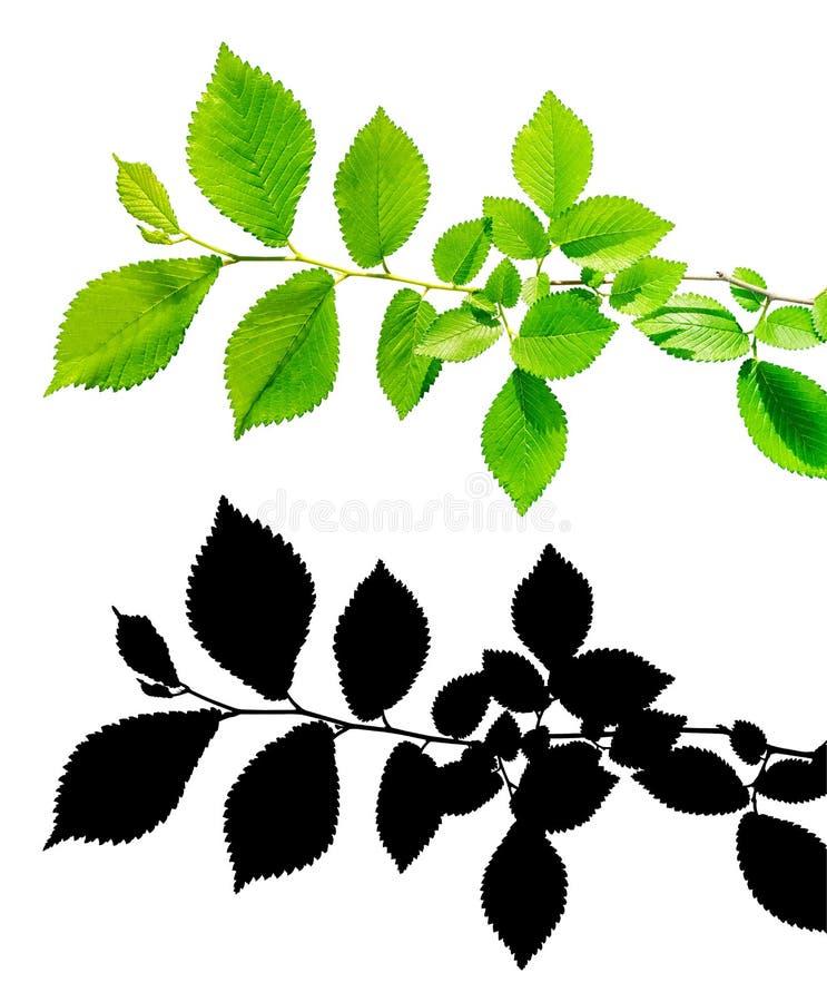 Ramo da árvore com as folhas verdes isoladas com trajeto de grampeamento e canal alfa imagens de stock