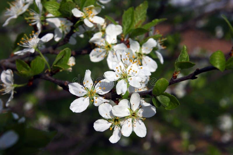 Ramo da árvore de ameixa de florescência bonita com muitos bonitos pequenos fotografia de stock royalty free