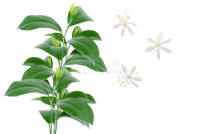 Ramo da árvore de citrino com as folhas verdes e as flores dos jovens isoladas no fundo branco foto de stock royalty free