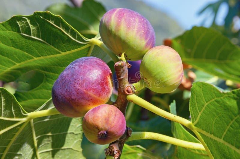 Ramo da árvore de figo com folhas do verde e frutos coloridos foto de stock royalty free