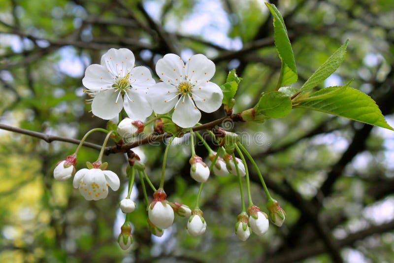 Ramo da árvore de florescência foto de stock