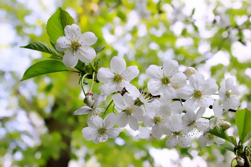 Ramo da árvore de florescência imagens de stock royalty free