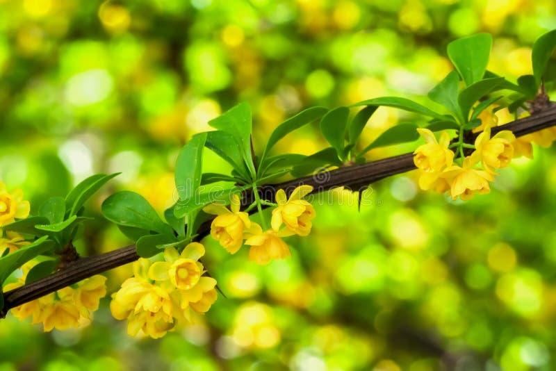 Ramo da árvore de florescência da mola, close-up amarelo das flores Fundo brilhante natural com bokeh fotografia de stock