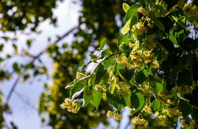 Ramo da árvore de Linden contra o céu azul foto de stock royalty free