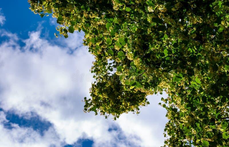 Ramo da árvore de Linden contra o céu azul imagens de stock royalty free