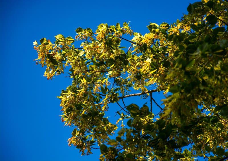Ramo da árvore de Linden na flor foto de stock royalty free