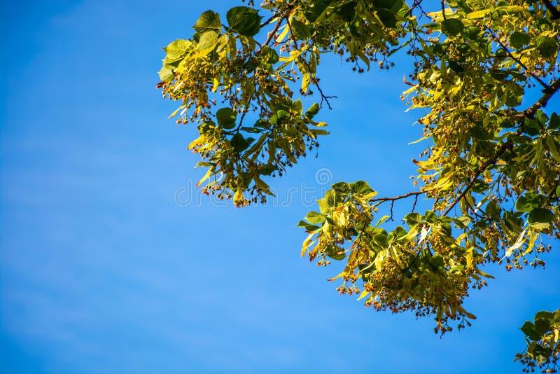 Ramo da árvore de Linden na flor imagens de stock