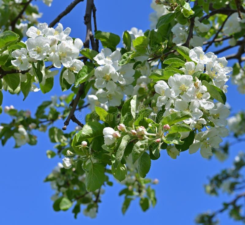 Ramo da árvore de maçã de florescência contra o céu azul foto de stock royalty free