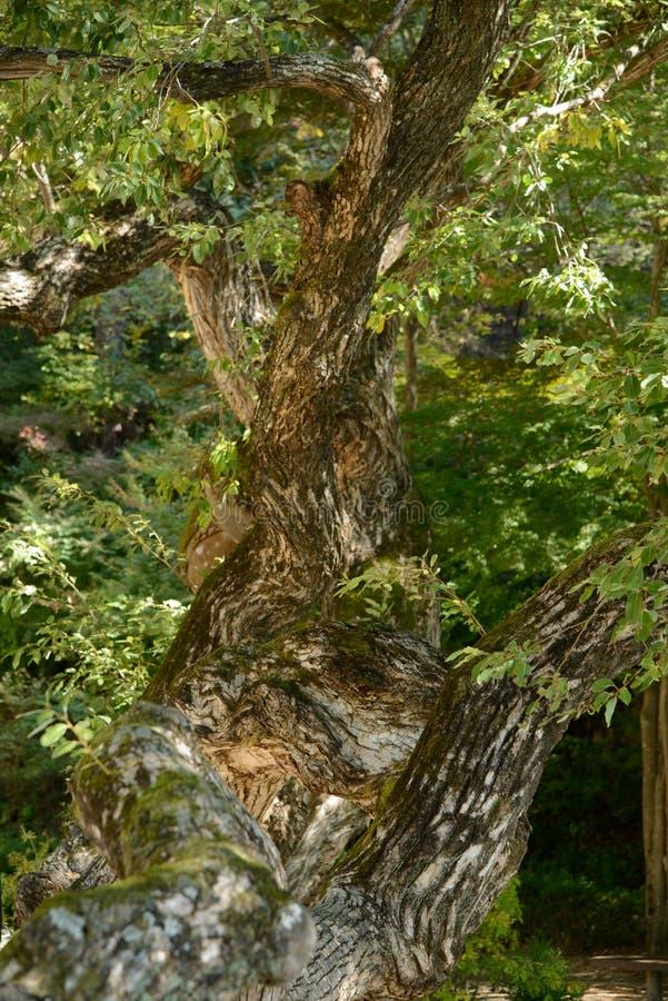 Ramo da árvore de salgueiro velha foto de stock royalty free