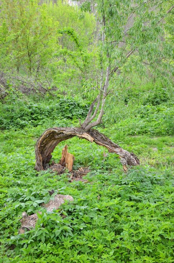 Ramo da árvore de salgueiro velha imagem de stock