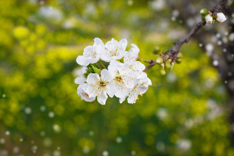 Ramo da árvore que floresce pelo branco foto de stock royalty free