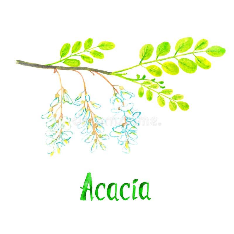 Ramo da acácia com folhas verdes e as flores brancas, ilustração pintado à mão da aquarela com a inscrição isolada ilustração stock