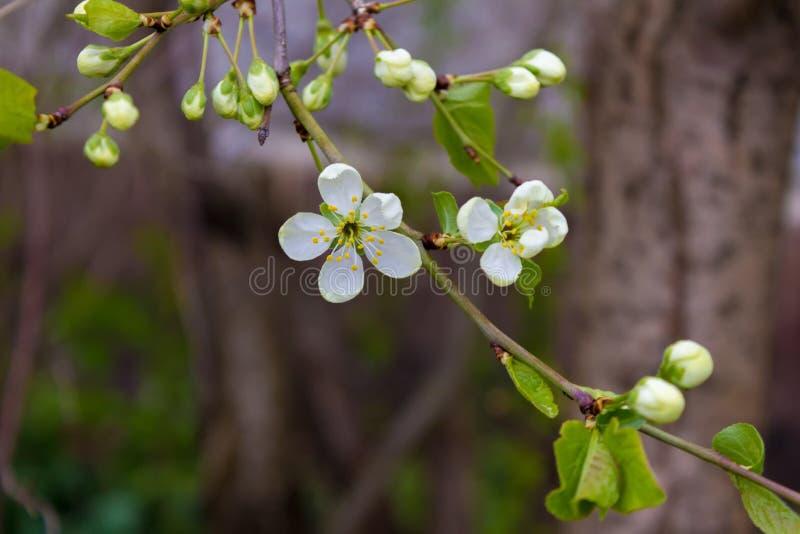 Ramo da cereja com uma flor de florescência imagem de stock