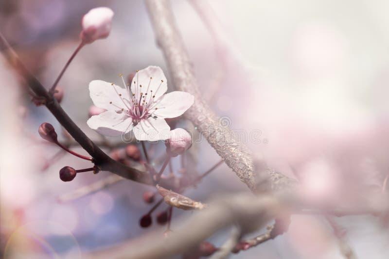 Ramo da cereja na flor foto de stock royalty free