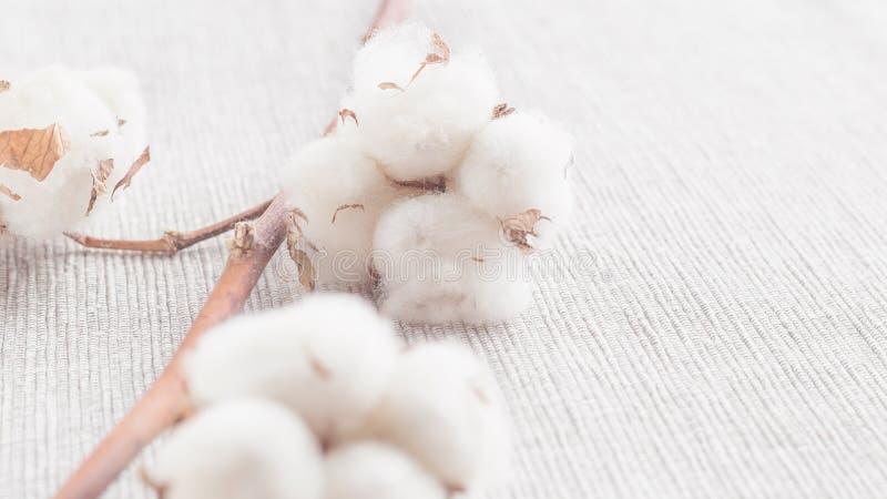 Ramo da flor da planta de algodão no fundo branco foto de stock royalty free