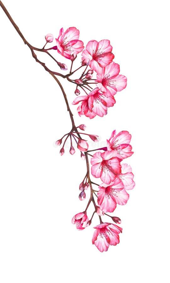 Ramo da flor de cerejeira isolado no fundo branco Ilustração da aquarela de flores de sakura ilustração royalty free