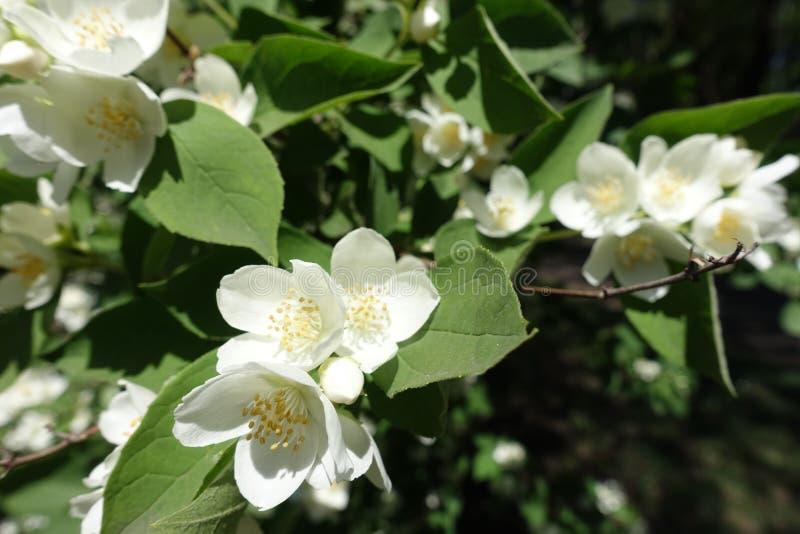 Ramo da florescência zombaria-alaranjado em maio imagens de stock