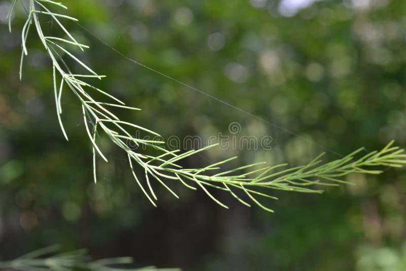 Ramo da grama decorativa com uma Web de aranha em um fundo de árvores verdes imagens de stock royalty free