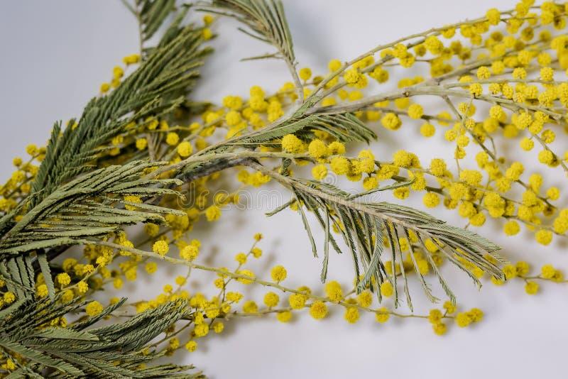 Ramo da mimosa Flor no oitavo março imagem de stock