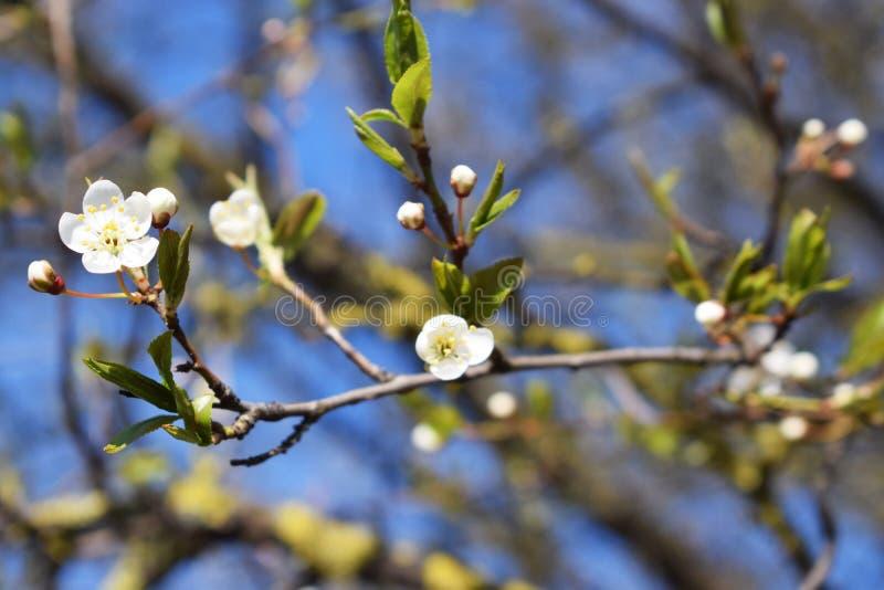 Ramo da mola da flor de cerejeira fotos de stock