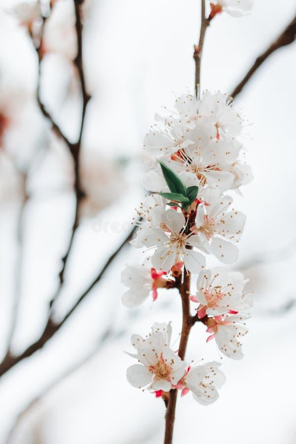 Ramo das flores brancas do fruto na mola foto de stock royalty free