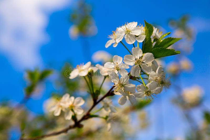 Ramo das flores de cerejeira no fundo do céu fotos de stock