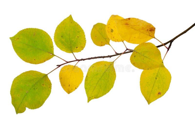 Ramo das folhas de outono da árvore de maçã c imagens de stock