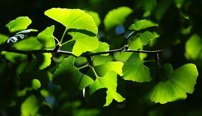 Ramo de árvore de Biloba da nogueira-do-Japão no jardim botânico foto de stock