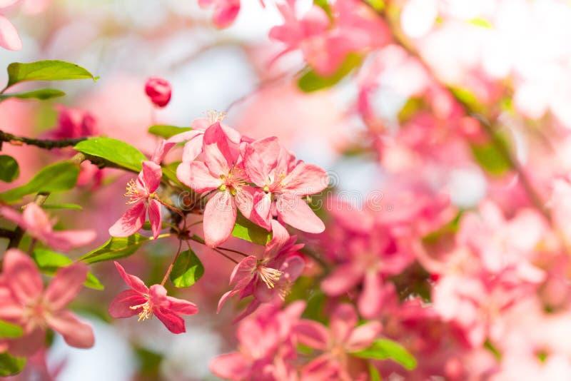 Ramo de árvore bonito da cereja completamente da flor cor-de-rosa mim foto de stock royalty free